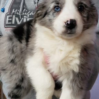 7/8 Aussie 1/8 Border Collie $449.00